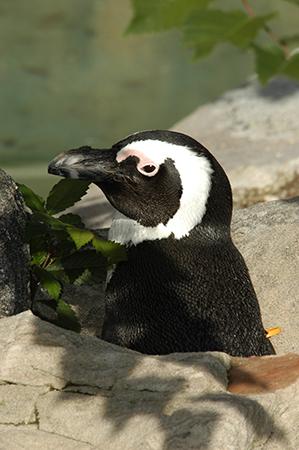 08) African_penguin-RAndrewOdum sm