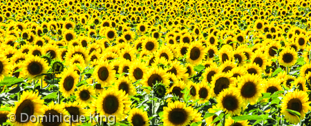 Howell sunflowers